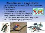 alcedinidae kingfishers