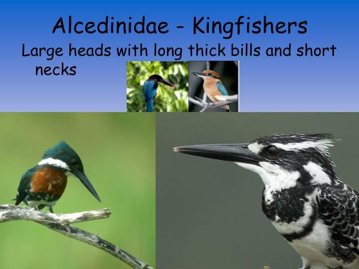 Alcedinidae - Kingfishers