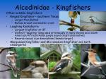 alcedinidae kingfishers13