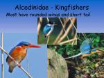 alcedinidae kingfishers2
