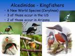 alcedinidae kingfishers6