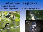alcedinidae kingfishers7