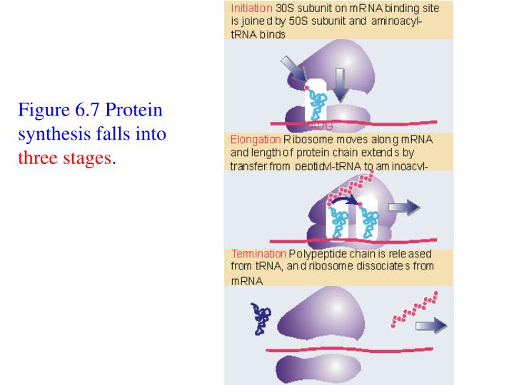 Figure 6.7 Protein synthesis falls into