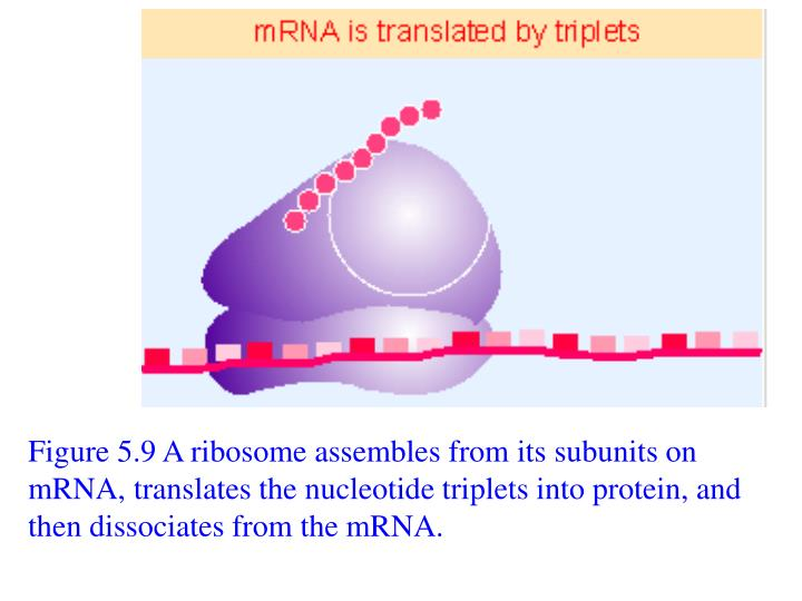 Figure 5.9 A ribosome assembles from its subunits on mRNA, translates the nucleotide triplets into protein, and then dissociates from the mRNA.