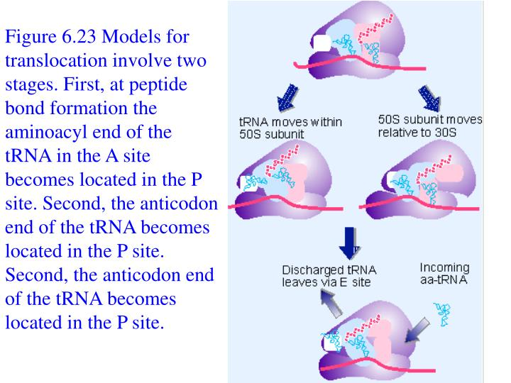 Figure 6.23 Models for translocation involve two stages. First, at peptide bond formation the aminoacyl end of the tRNA in the A site becomes located in the P site. Second, the anticodon end of the tRNA becomes located in the P site. Second, the anticodon end of the tRNA becomes located in the P site.