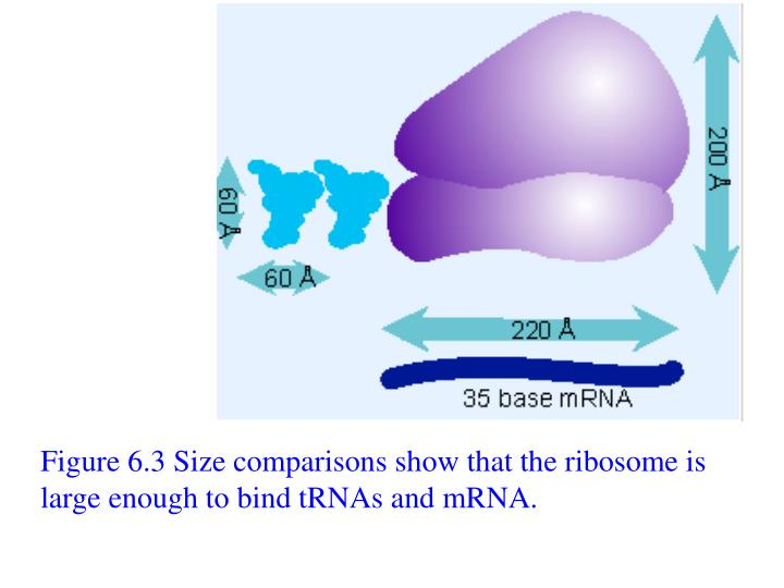 Figure 6.3 Size comparisons show that the ribosome is large enough to bind tRNAs and mRNA.