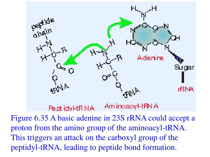 Figure 6.35 A basic adenine in 23S rRNA could accept a proton from the amino group of the aminoacyl-tRNA. This triggers an attack on the carboxyl group of the peptidyl-tRNA, leading to peptide bond formation.