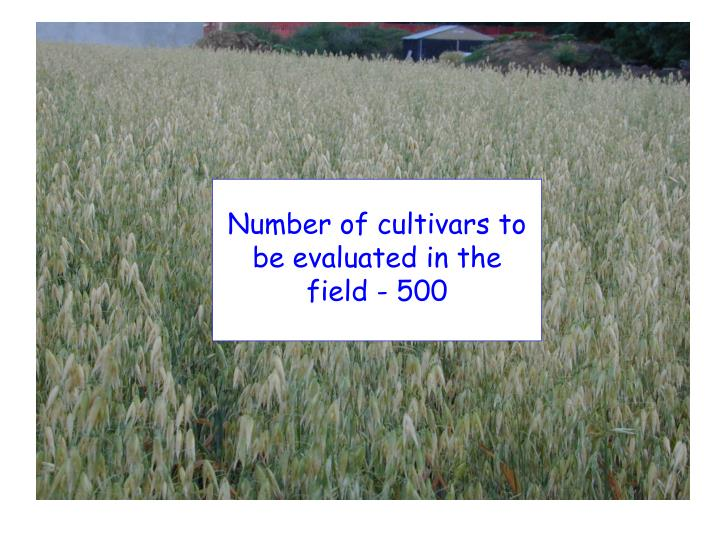 Number of cultivars to be evaluated in the field - 500