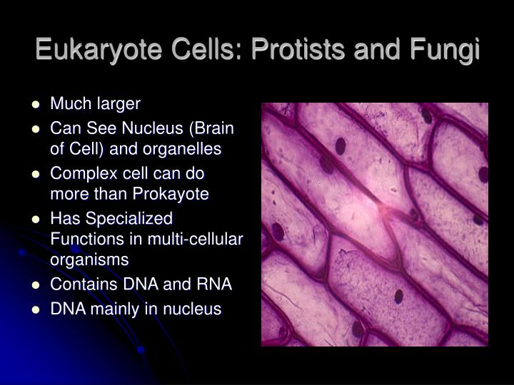 Eukaryote Cells: Protists and Fungi