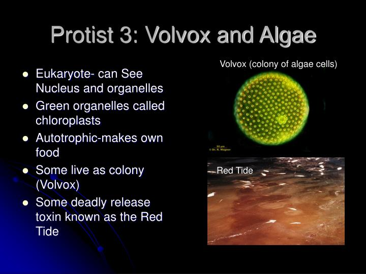 Protist 3: Volvox and Algae