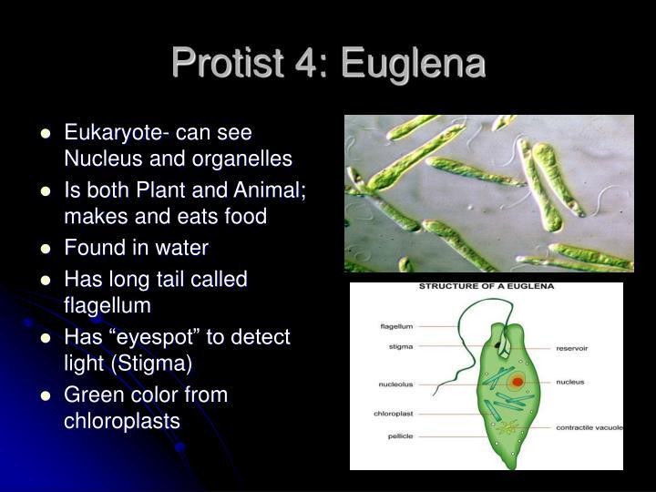 Protist 4: Euglena