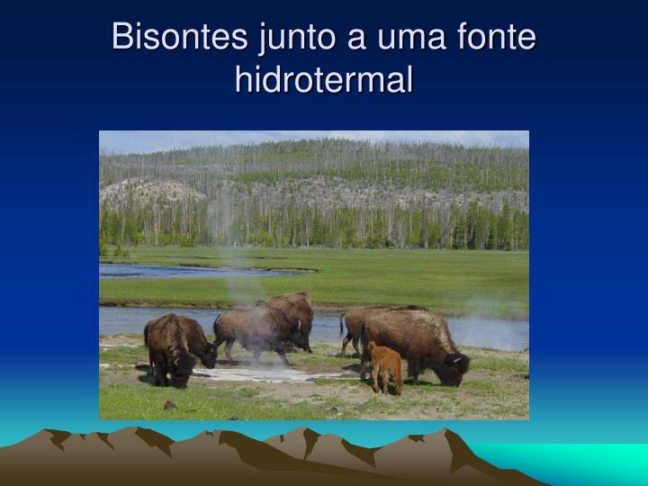 Bisontes junto a uma fonte hidrotermal