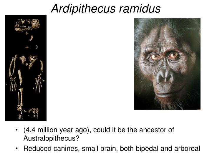 (4.4 million year ago), could it be the ancestor of  Australopithecus?