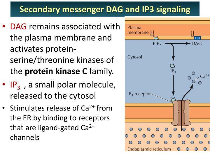 Secondary messenger DAG and IP3 signaling