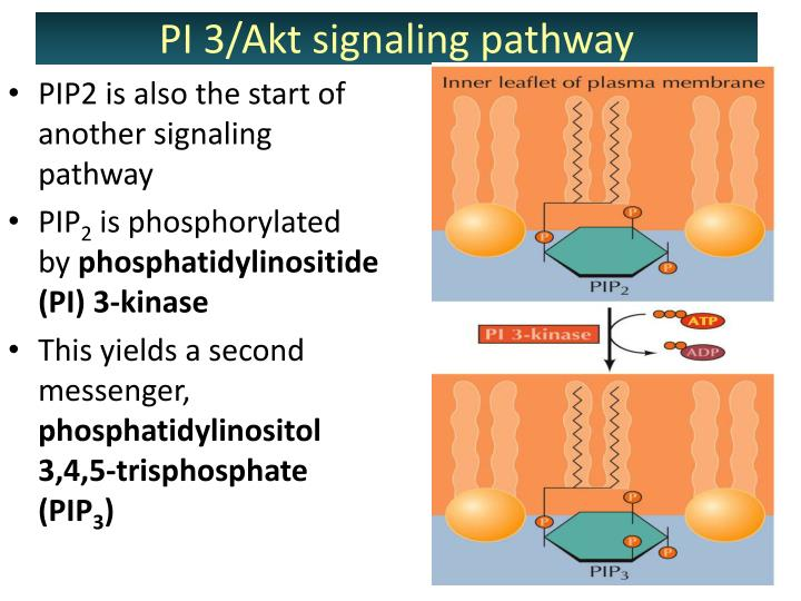 PIP2 is also the start of another signaling pathway