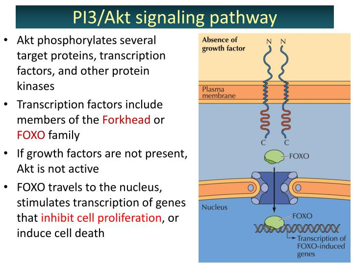 Akt phosphorylates several target proteins, transcription factors, and other protein kinases