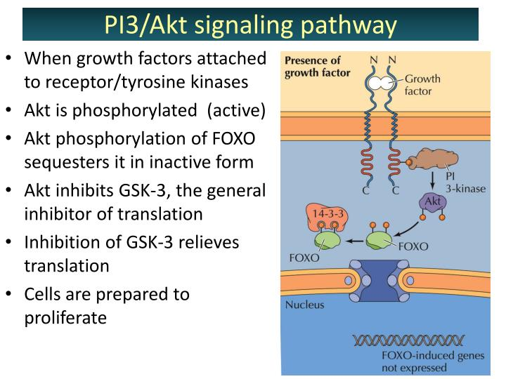 When growth factors attached to receptor/tyrosine kinases