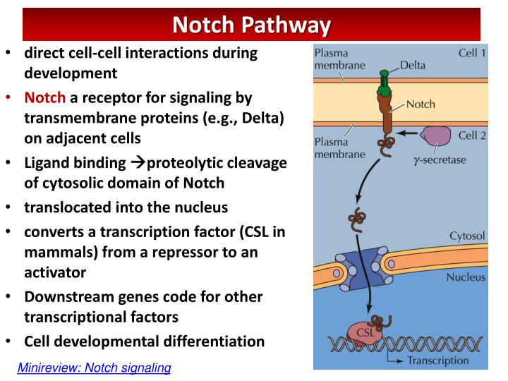 direct cell-cell interactions during development