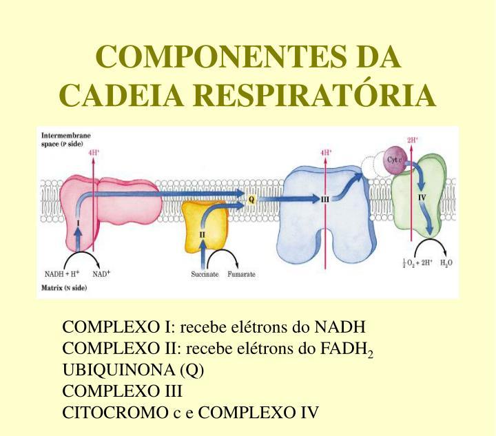 COMPONENTES DA CADEIA RESPIRATÓRIA