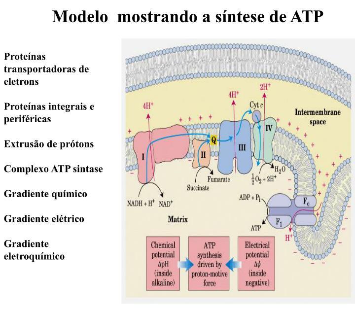 Modelo  mostrando a síntese de ATP