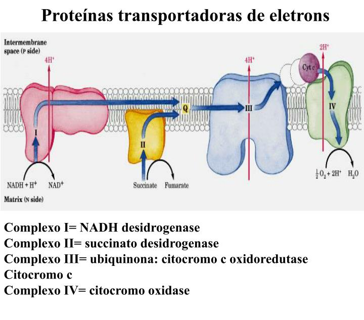 Proteínas transportadoras de eletrons