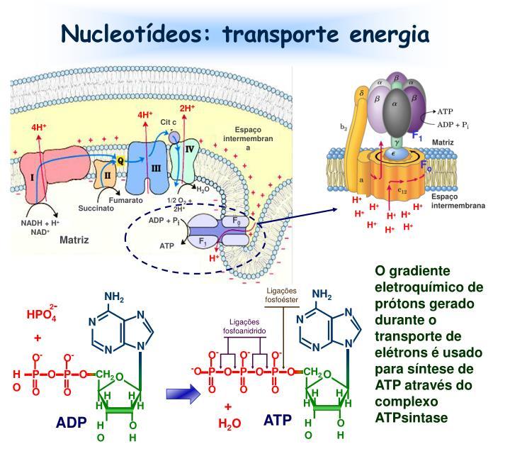 Nucleotídeos: transporte energia