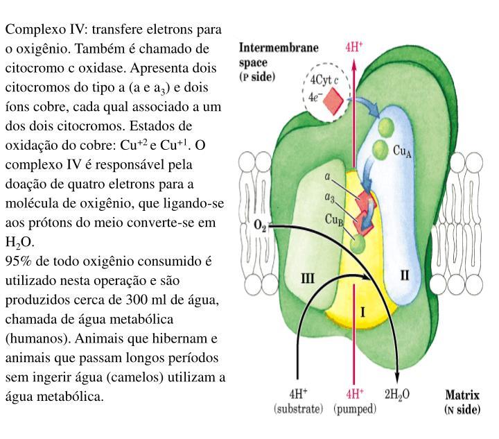 Complexo IV: transfere eletrons para o oxigênio. Também é chamado de citocromo c oxidase. Apresenta dois citocromos do tipo a (a e a