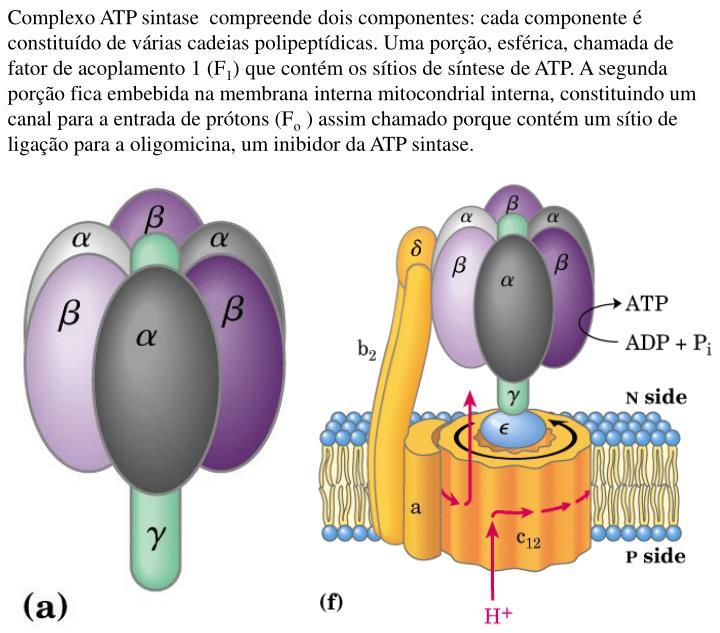 Complexo ATP sintase  compreende dois componentes: cada componente é constituído de várias cadeias polipeptídicas. Uma porção, esférica, chamada de fator de acoplamento 1 (F