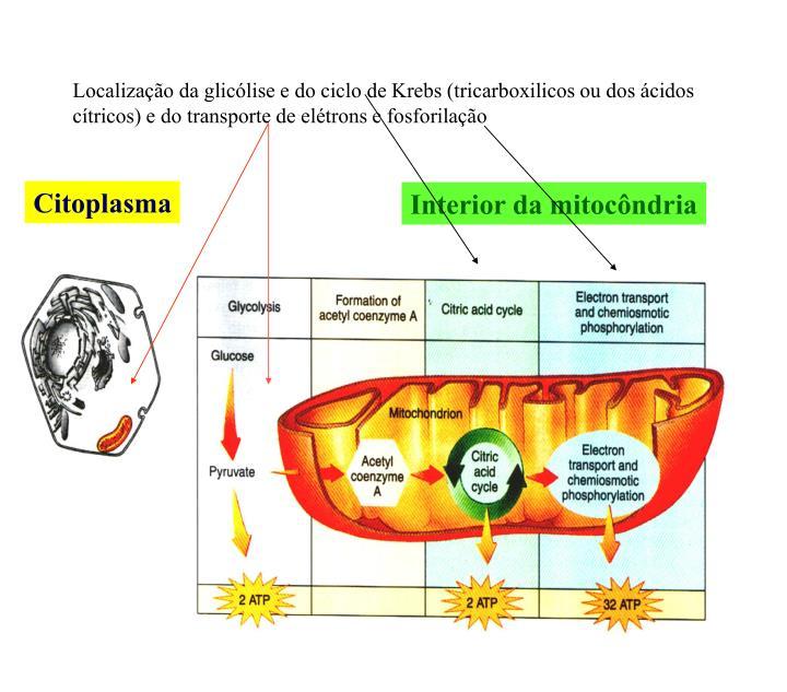Localização da glicólise e do ciclo de Krebs (tricarboxilicos ou dos ácidos cítricos) e do transporte de elétrons e fosforilação