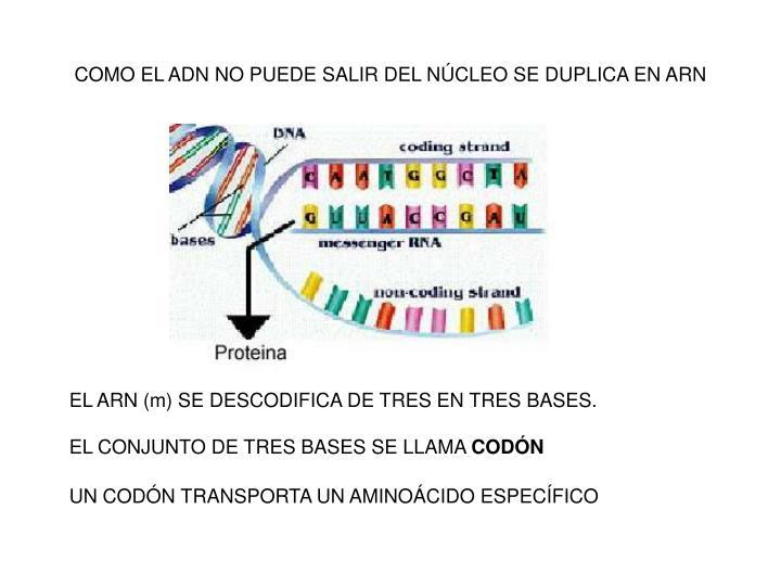 COMO EL ADN NO PUEDE SALIR DEL NÚCLEO SE DUPLICA EN ARN