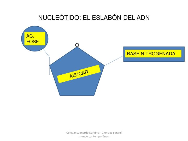 NUCLEÓTIDO: EL ESLABÓN DEL ADN