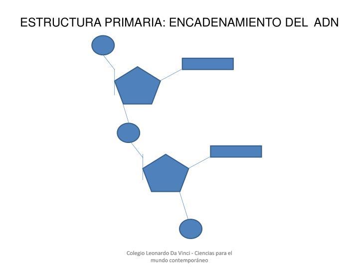 ESTRUCTURA PRIMARIA: ENCADENAMIENTO DEL  ADN
