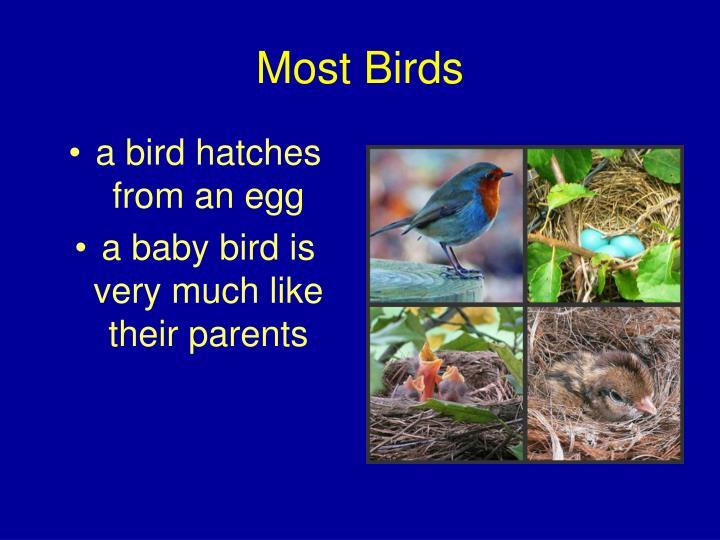 Most Birds