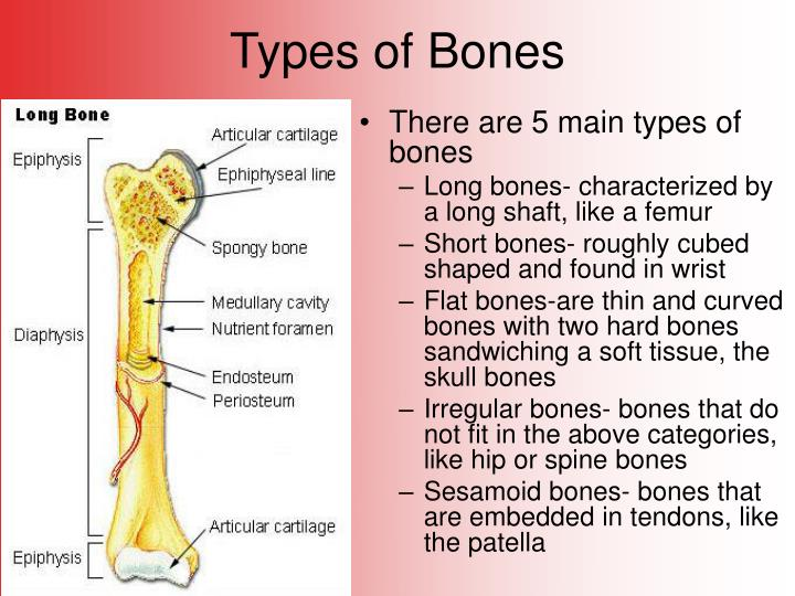five main types of bones The five types of bones in the human body are long, short, flat, irregular and sesamoid bones.