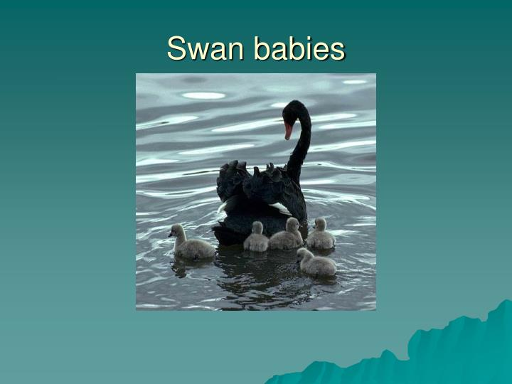 Swan babies
