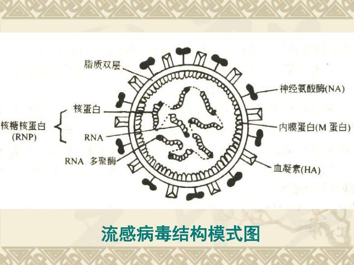 流感病毒结构模式图