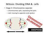 mitosis dividing dna cells3