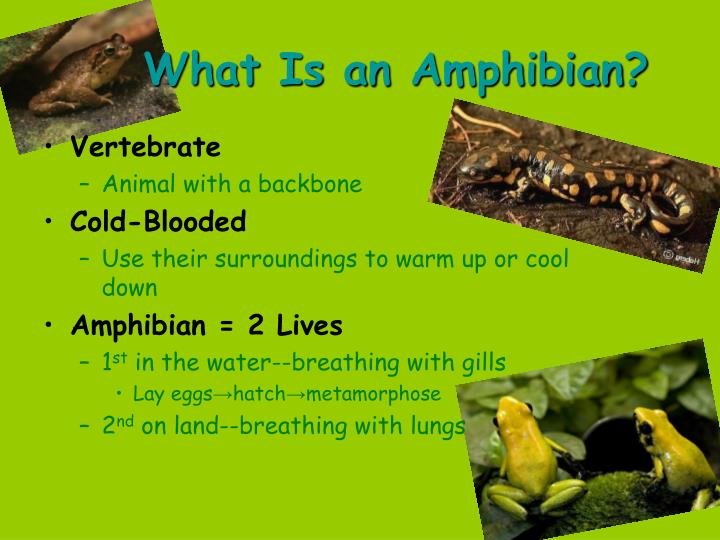 What is an amphibian