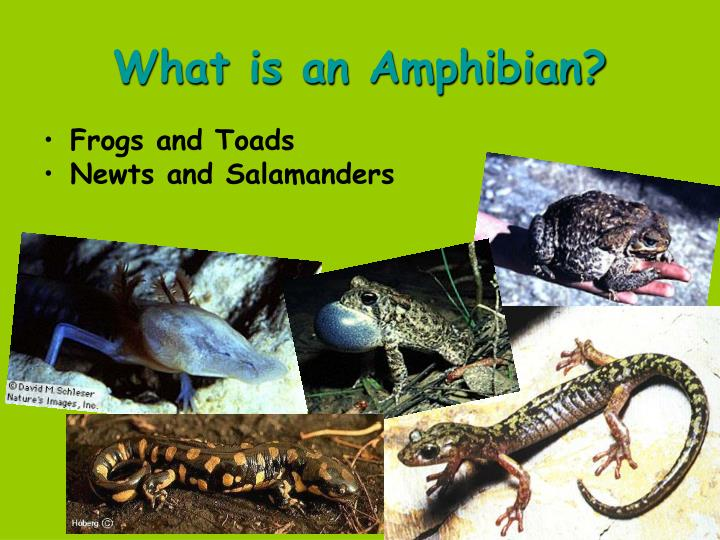 What is an amphibian1