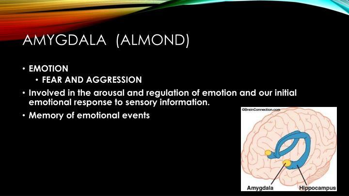 Amygdala  (almond)