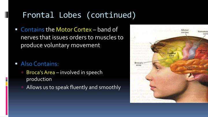 Frontal Lobes (continued)