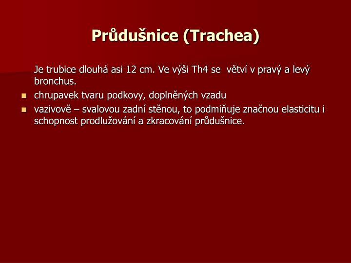 Průdušnice (Trachea)