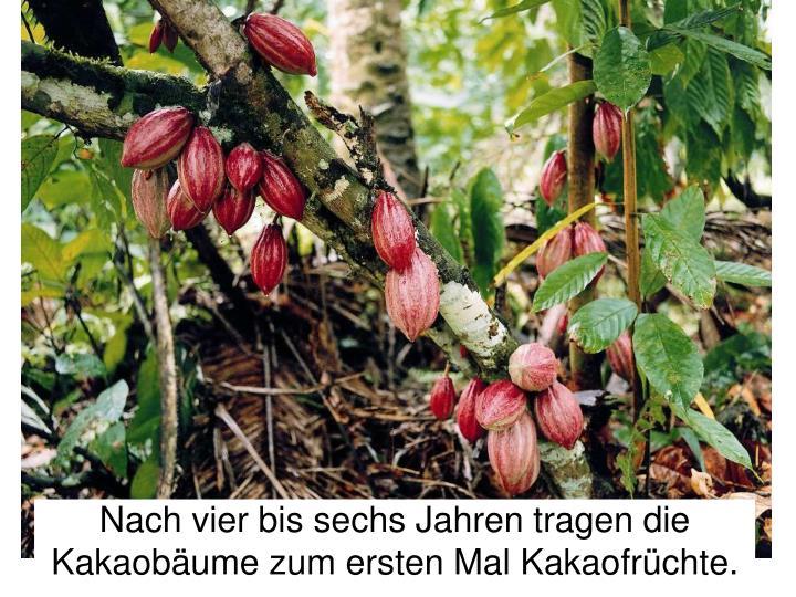 Nach vier bis sechs Jahren tragen die Kakaobäume zum ersten Mal Kakaofrüchte.