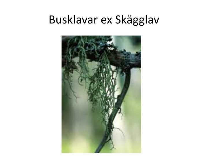 Busklavar ex Skägglav