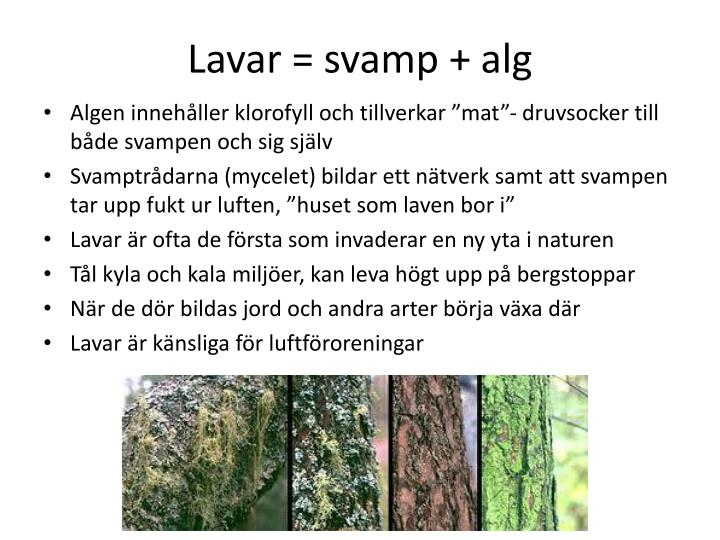Lavar = svamp + alg