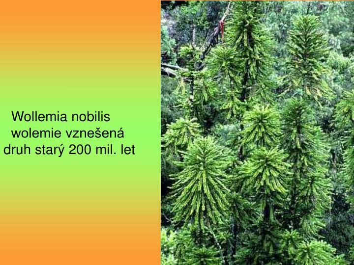 Wollemia nobilis