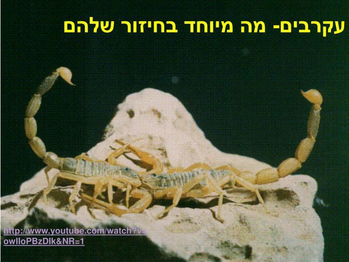 עקרבים- מה מיוחד בחיזור שלהם