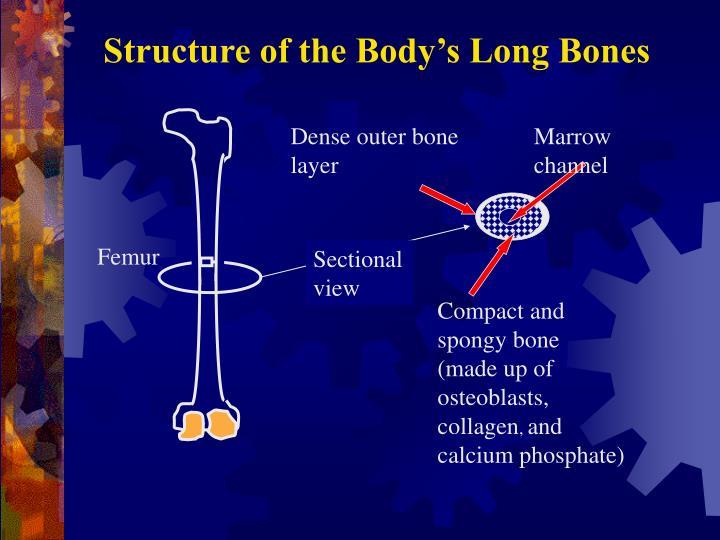 Dense outer bone