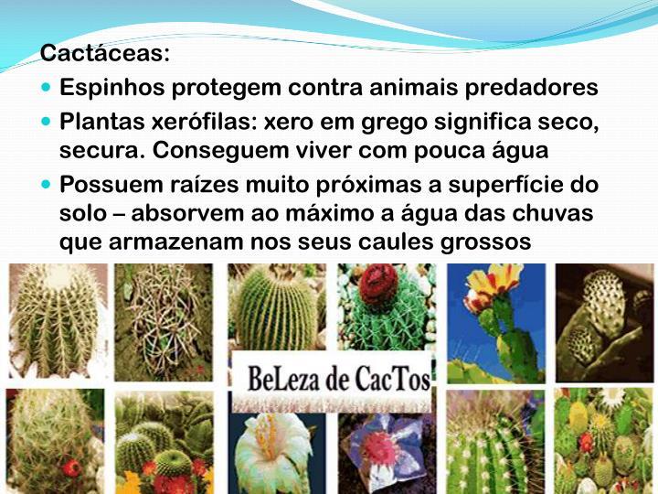 Cactáceas: