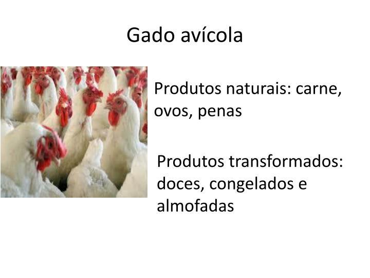 Gado avícola